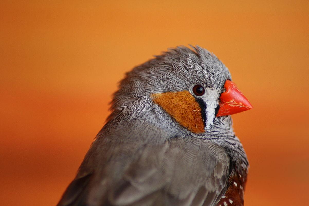 Human Speech Similar to Birdsong